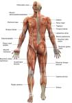 Muschii corpului